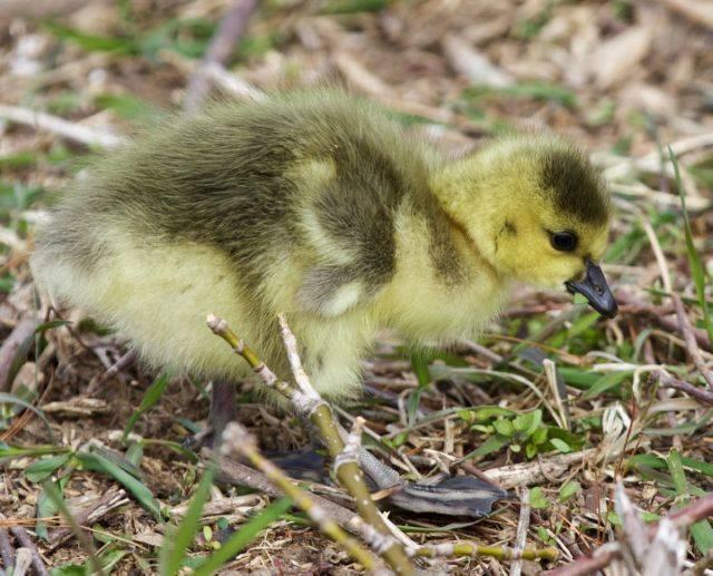 Чем могут заболеть гусята?