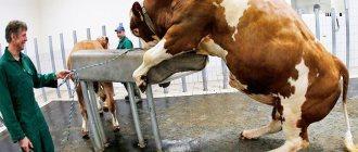 У коровы выделения с кровью