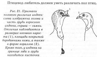 Как отличить индюшку (индейку) от индюка даже сразу после рождения: чем отличаются и как различить индюшат