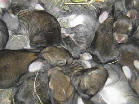 Почему крольчиха съедает своих крольчат: причины и советы