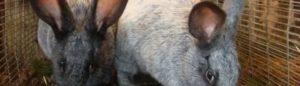 Кокцидиоз у кроликов: симптомы и лечение, профилактика, опасен ли для человека