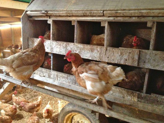 Когда начинают нести яйца куры-молодки?