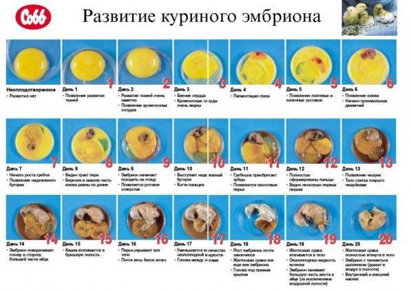 Как рождаются цыплята, их развитие в яйце по дням