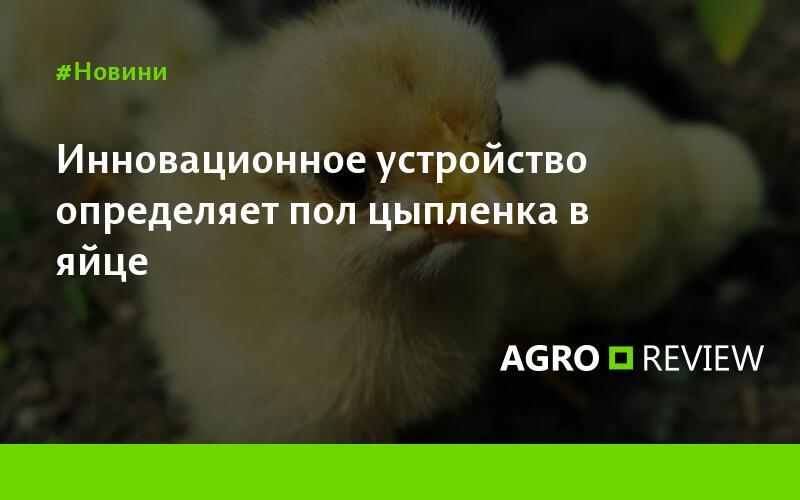 Как отличить цыплят-курочек от петушков? как определить пол по яйцу и по крыльям? другие способы