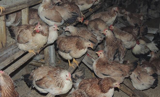 Загорская лососевая порода кур: описание вида, разведение