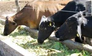 ᐉ корова или теленок не жует жвачку: как лечить и что делать - zooon.ru