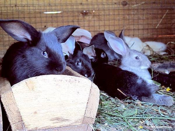 Можно ли кроликам давать молочай? польза и вред молочая
