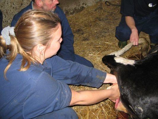 Когда и как правильно запустить корову перед отёлом