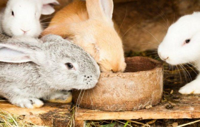 Что можно давать кролику а что нет: список продуктов