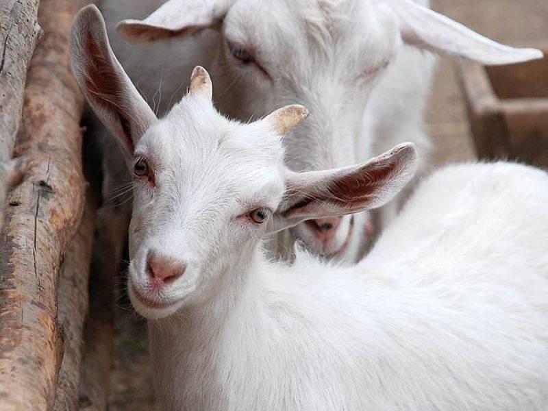 Болезни коз и их симптомы, лечение - oozoo.ru