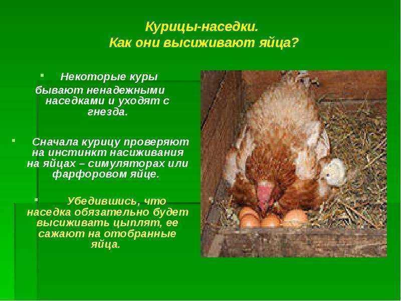 Появление цыплят. сколько курица высиживает яйца, тайны курицы наседки
