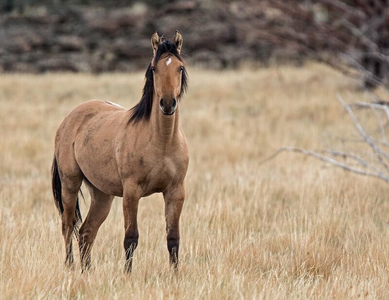 Мустанг лошадь: описание породы, места обитания