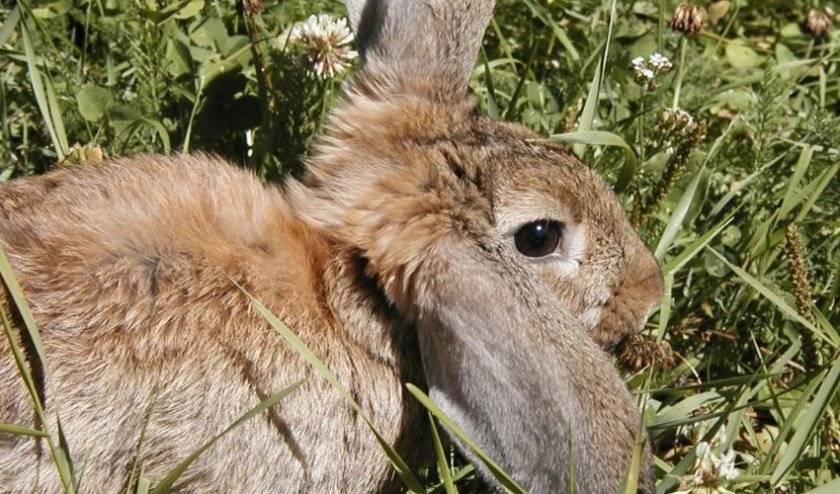 Можно ли давать кролику хвощ полевой: горчица, лютики, мышиный горошек в рационе
