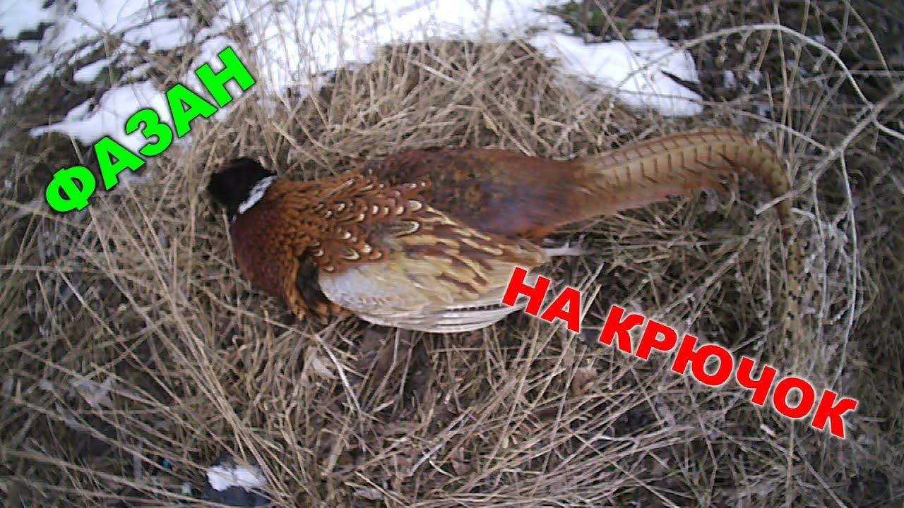 Как поймать фазана живым: силки и ловушки своими руками