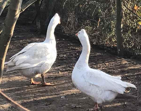 Итальянские белые гуси: характеристика и описание породы