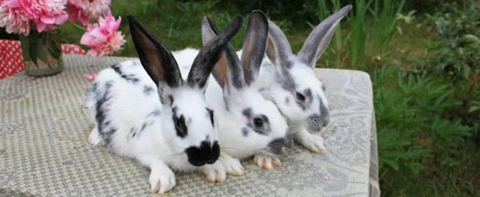 Кролик бабочка: описание породы,характеристика, фото