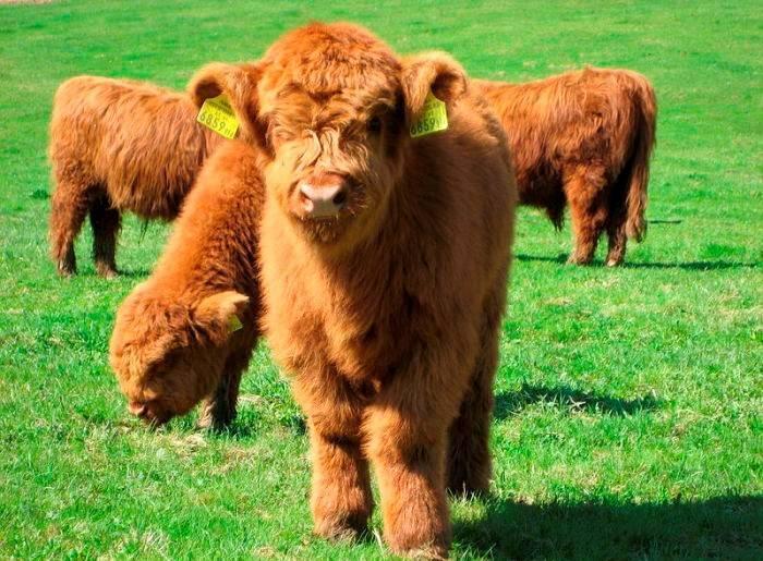Чем отличается плюшевая корова