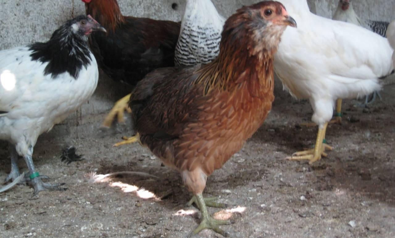 Порода кур амераукана: описание, фото
