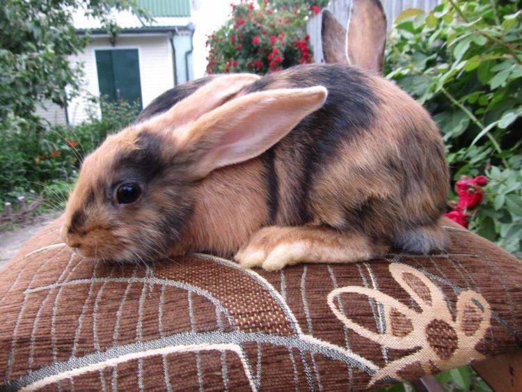 Короткошерстный карликовый кролик: содержание и уход