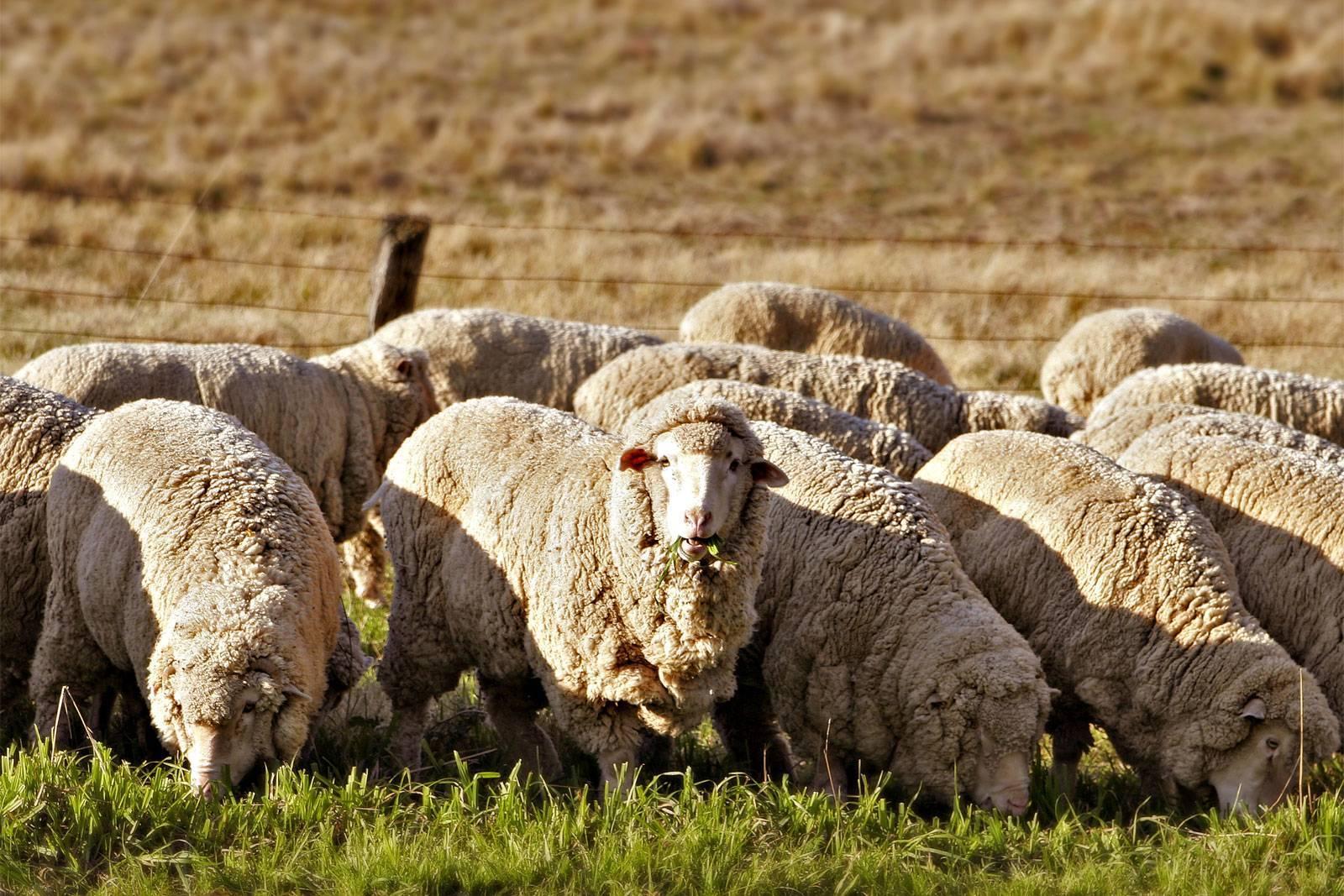 Молочное овцеводство — agroxxi