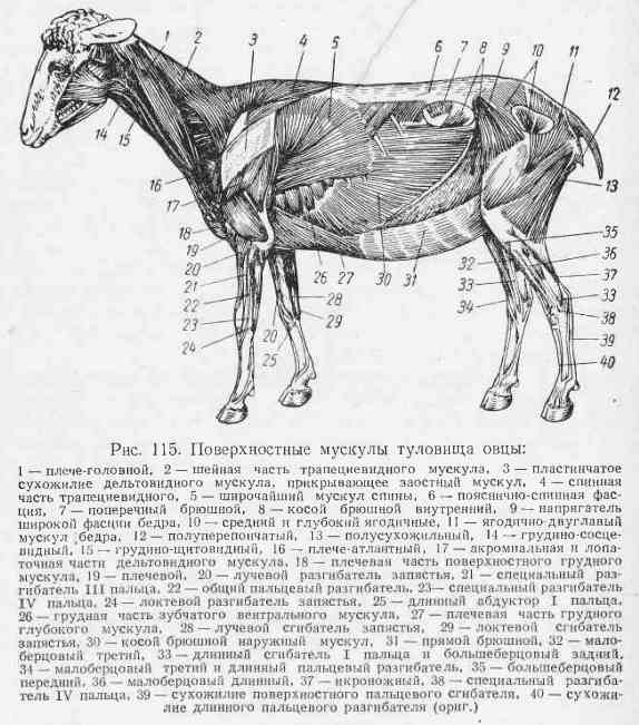 Скакательный сустав у лошади находится