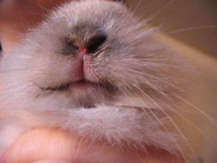 Мокрец у кроликов (инфекционный стоматит, мокрая мордочка): симптомы и лечение болезни