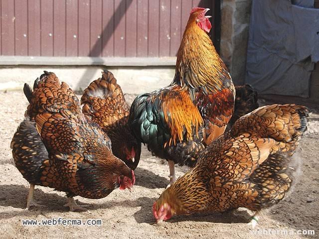 Голошейная порода кур: описание и характеристики, содержание и разведение
