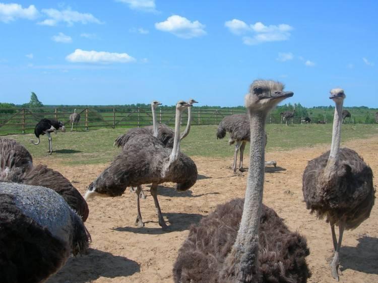 Как открыть страусиную ферму