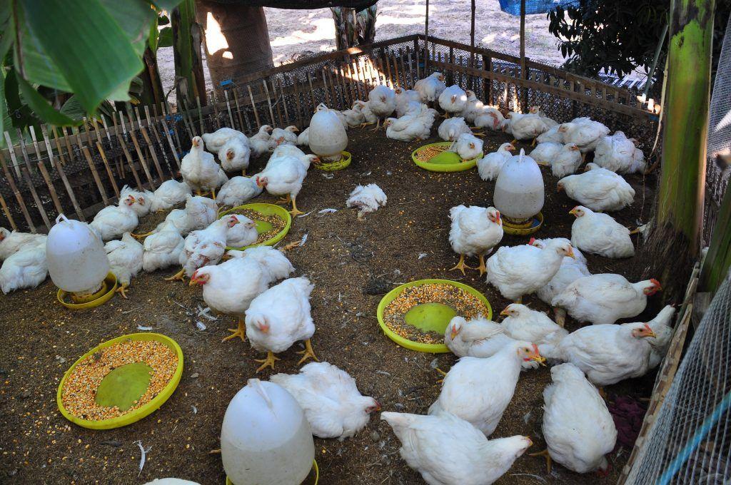 Выращивание бройлерных цыплят в домашних условиях