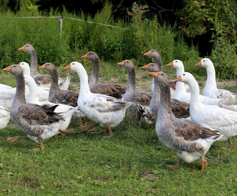 Как разводить гусей в домашних условиях?
