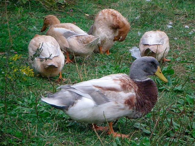 Топ-4 самых лучших пород мясных уток по мнению опытных птицеводов