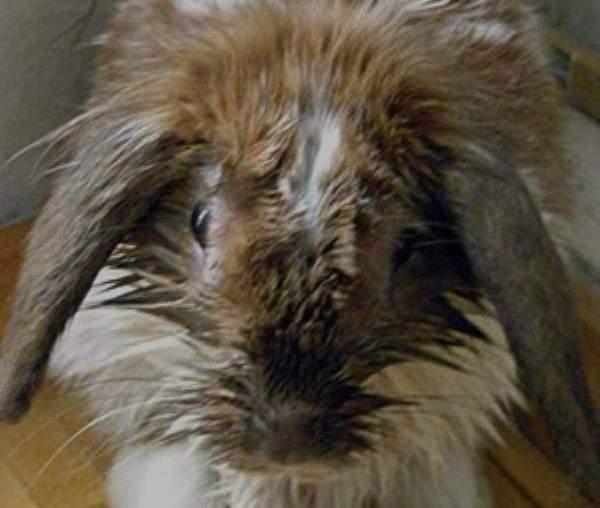 Инфекционный стоматит у кроликов: симптомы, причины, лечение и профилактика болезни мокрец