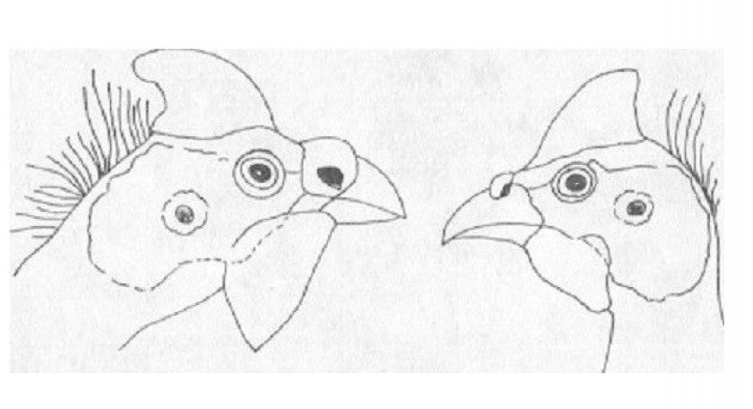 """Как отличить самца и самку цесарки? — журнал """"рутвет"""""""