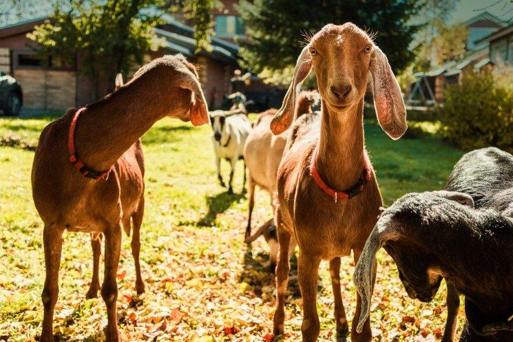 Нубийская порода коз: сколько дает молока, описание, характеристики