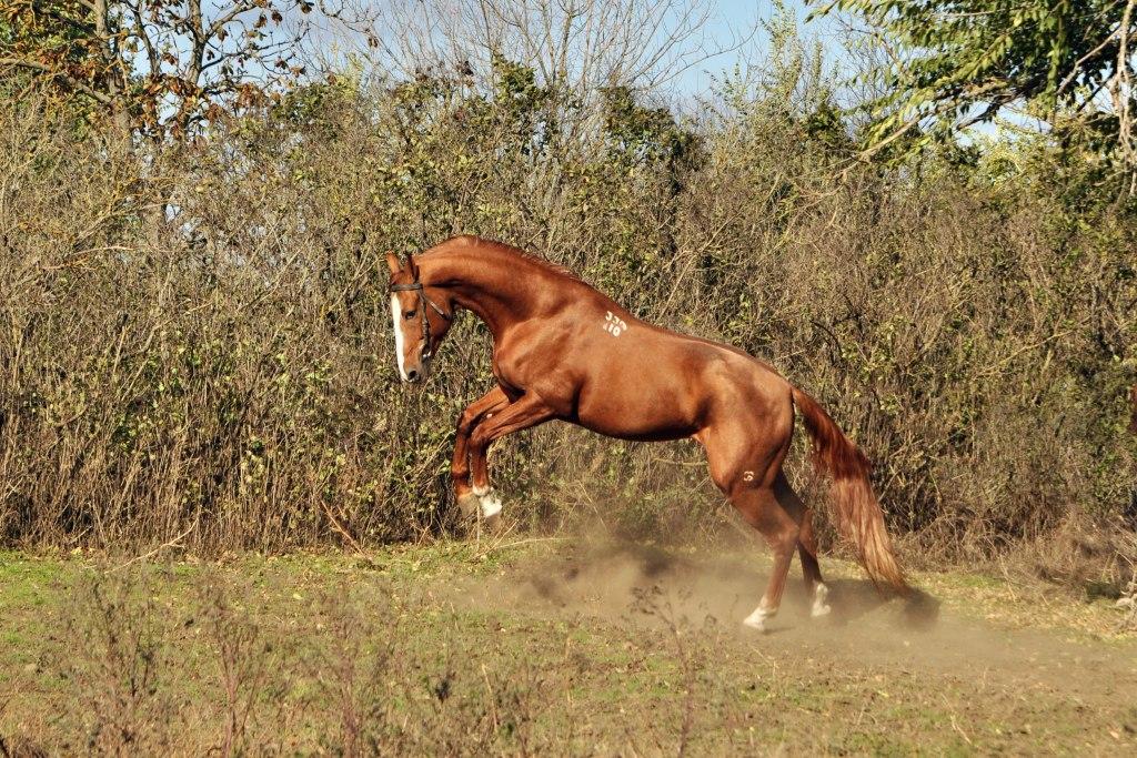 Донская порода лошадей: история, экстерьер, фото | мои лошадки