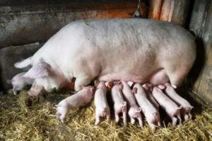 Порода свиней ландрас - характеристика, кормление и уход  в домашних условиях