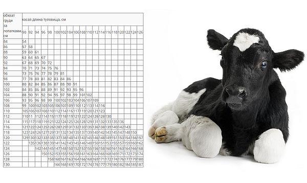Таблицы и методики снятия мерок с крс чтобы определить без весов сколько весит корова