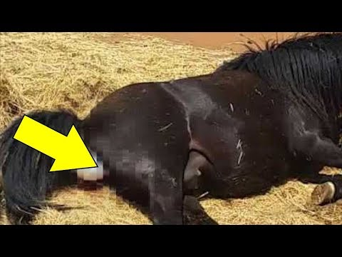 Основы выжеребки (родов) у лошадей