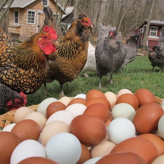 Во сколько месяцев начинают нестись куры-несушки - начало яйцекладки