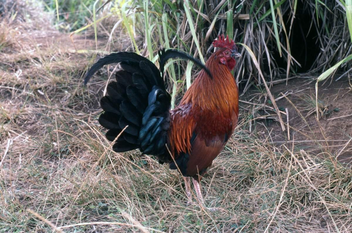 Банкивская джунглевая курица - дикая родоночальница домашних