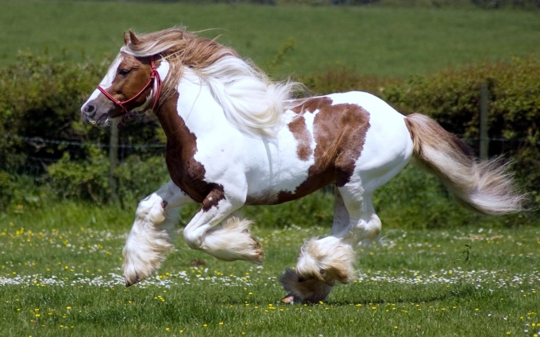 Лошади шайр: краткое описание и характеристики. породы лошадей