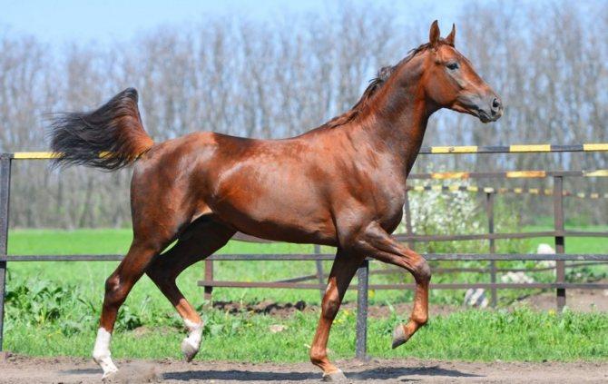 9 особенностей голландской теплокровной породы лошадей