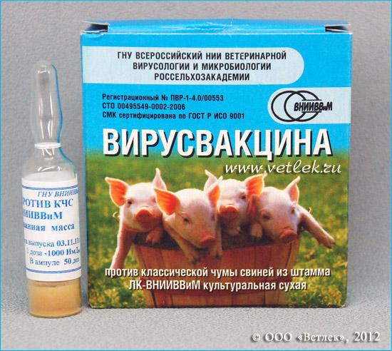 Рожа у свиней: симптомы и лечение в домашних условиях, фото