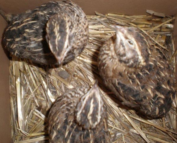 Уход за цыплятами после инкубатора в домашних условиях