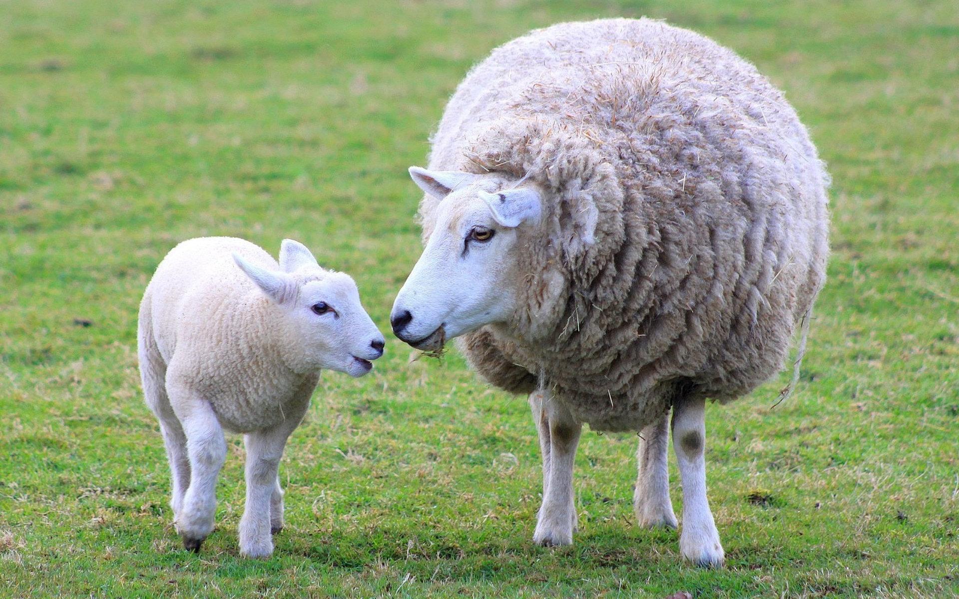 Ягненок: описание, основные отличия от других видов животных, как правильно называется детеныш овцы