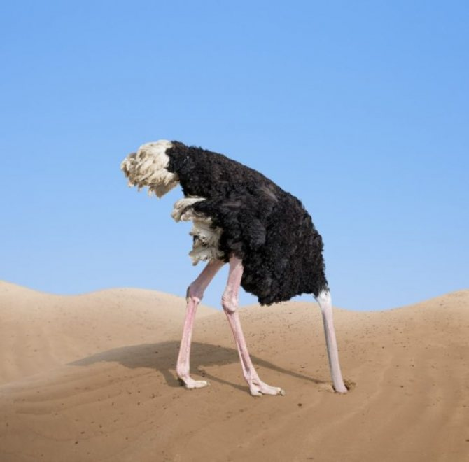 Зачем страусы прячут голову в песок и другие мифы о животных