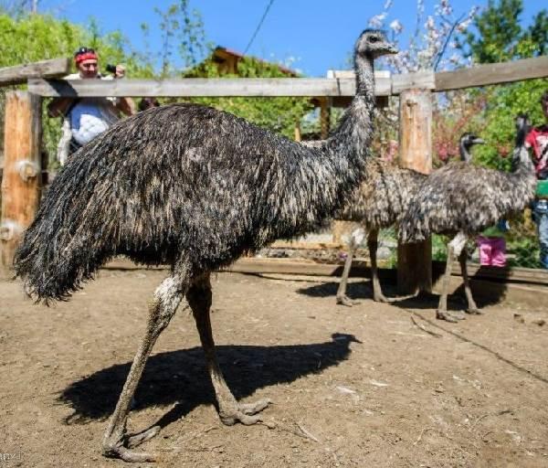 Выясняем, какие виды страусов существуют и кто он - самый высокий страус