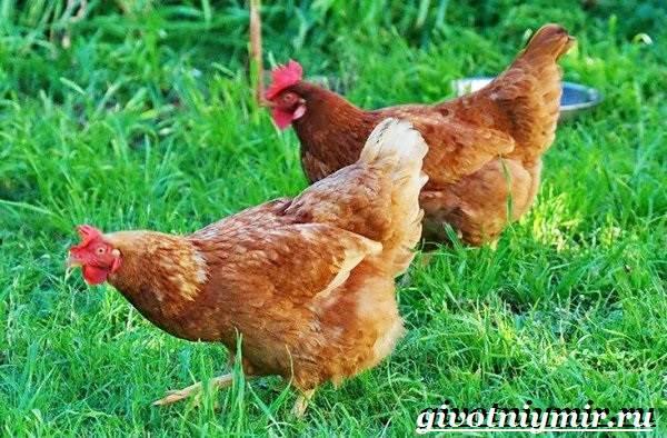 Куры родонит (27 фото): описание породы несушек, внешний вид цыплят, отзывы владельцев
