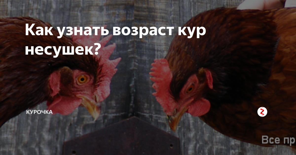 Как определить возраст курицы? отличия между старыми и молодыми птицами
