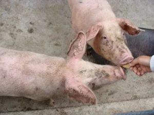 Рожа у свиней: симптомы, лечение и профилактика
